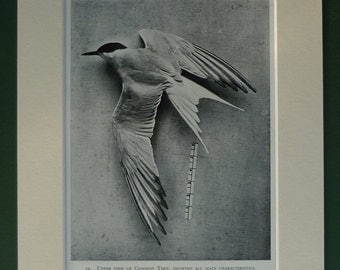 1934 Vintage Print Of A Common Tern - Nature Print - Sea Tern - Natural History Print - Dead Bird Print - Matted - Black & White - Seagull