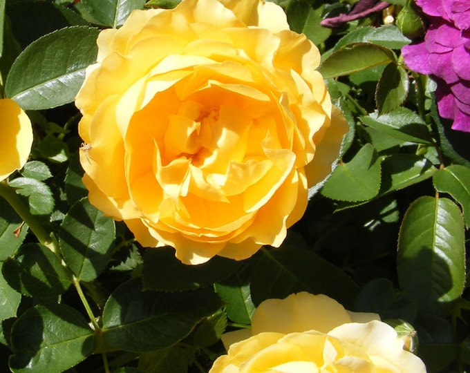 Julia Child Rose Plant Organic Grown Yellow Floribunda Fragrant Low Maintenance Rose Potted - Own Root Non-GMO - Fall Shipping