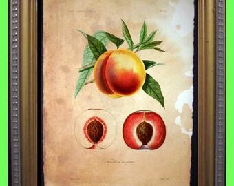 Vintage Peaches Art Print - Fruit Peach Art Print- Vintage Art Print on Tea Stained Paper