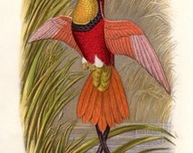 1875 Antique Bird Print Hummingbird Colored Plate Crimson Topaz