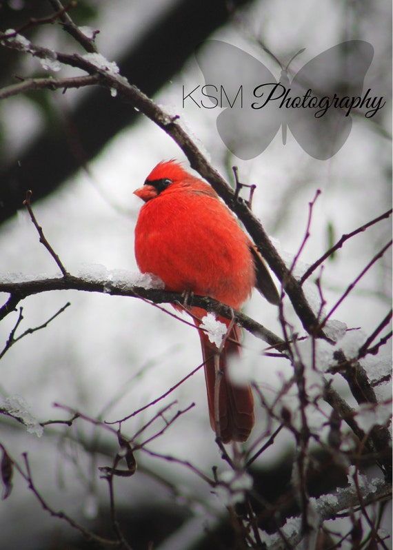 "Winter Wonderland #6 ""Fierce Feathers"" 5x7 PRINT red male northern cardinal snow holiday nature photography bright winter frost bird feather"