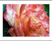 Pinkish Rose - Flower Photo Blank A5 Greetings card