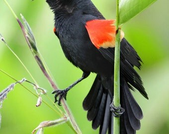 Red Winged Black Bird photograph, Florida wetlands Bird on a branch