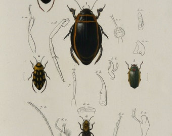 1869 Antique BEETLES print. INSECTS. ENTOMOLOGY. Beetle. 145 years old ...