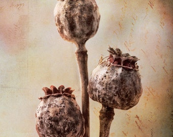Poppy Pod Nature Photography: Dried poppy seed rustic decor, romantic, pastel pink yellow & blue