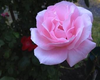 Instant Download Lovely Pink Blushing Rose Photo Art