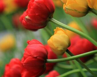 Red, Yellow, Green, Tulips,  Nature, Flower, Fine Art Photograph, Home Decor, Modern, Woodland, Organic, Orginal Fine Art Photograph, Print