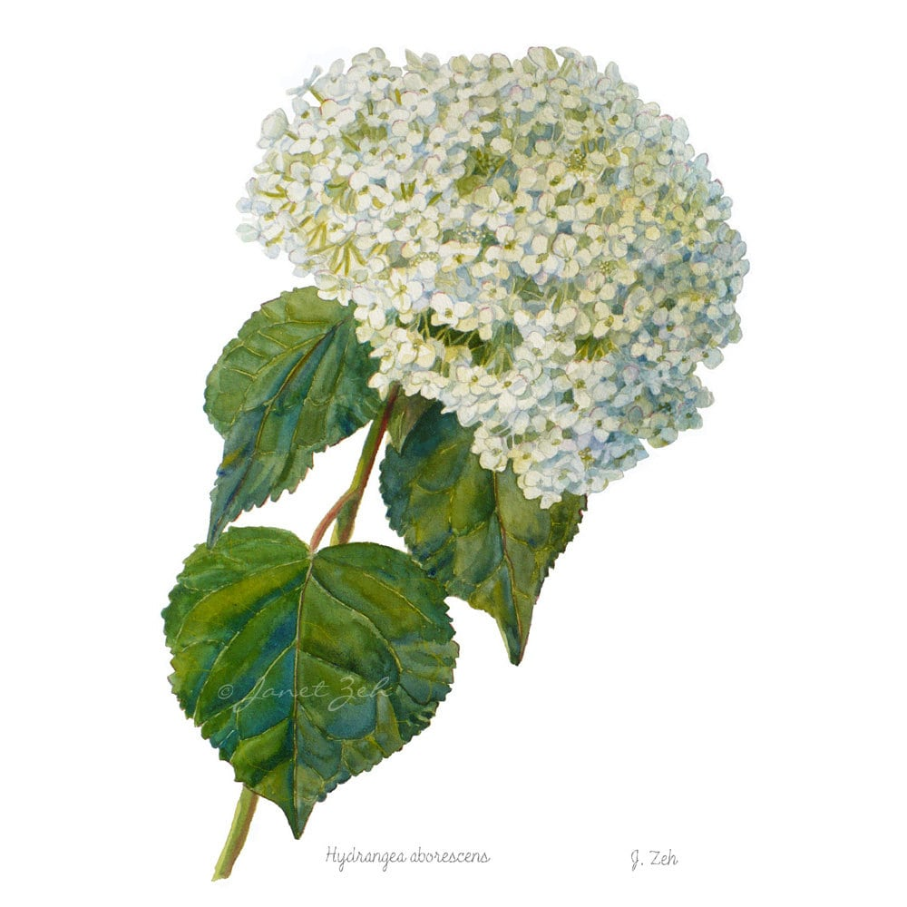 Hydrangea Wall Art hydrangea botanical print watercolor floral illustration wall