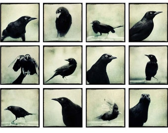 Grackles Mini Portfolio, Bird Photo Collection, Ravens, Crows, Black Birds, Gothic Art, 5x5 Print Set, Fine Art Photography Set
