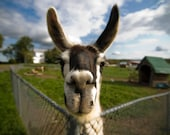 Llama photograph, farm animal photo. Happy llama artwork, quirky home decor gift. 5x7, 8x10, 11x14, 16x20, 20x30, 30x40 fine art print