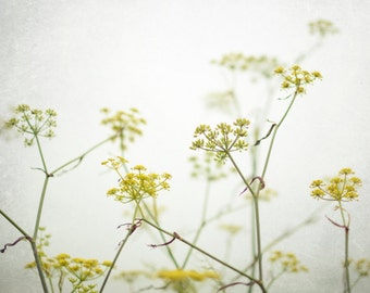 Botanical photography print fennel wildflowers white yellow minimal wall art 'Yellow Blooms'