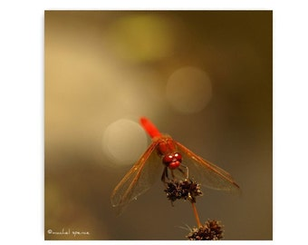 Dragonfly Photograph Dragonfly Print Red Dragonfly Natural History Beautiful Nature