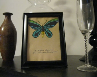 Green Butterfly Painting - Queen Alexandra's Birdwing on Tea stained paper