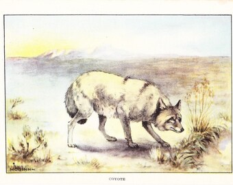 1926 Animal Print - Coyote - Vintage Antique Natural History Home Decor Art Illustration for Framing