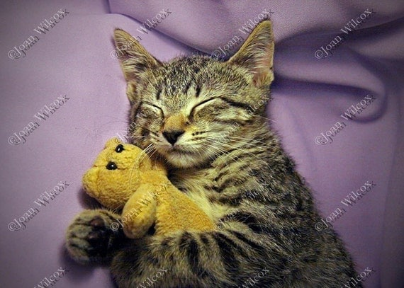 Sleeping Daisy Kitten Sleepy Kitty Cat with Tiny Teddy Bear Original Fine Art Photography Print
