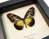 Gift Under 20 Real Framed Yellow Glassy Tiger Glasswing Butterfly Shadowbox Display 8144