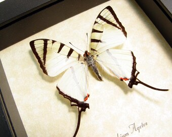 Real Framed Butterfly Graphium Agetes Elegant White Four-Bar swallowtail Free Shipping 8150
