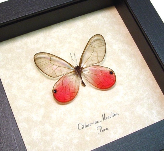 Real Framed Butterfly Pink Neon Glasswing Display 227