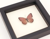 Real Insect Shadowbox Meadow Wanderer Butterfly Crenis pechuelli