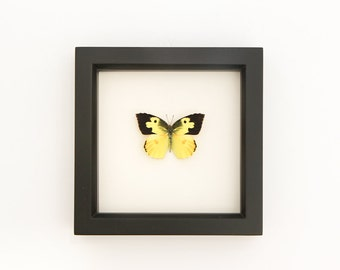 California State Butterfly Dogface Zerene eurydice