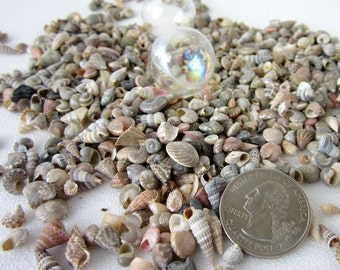 "Beach Decor EXTRA TINY Seashells - Nautical Decor Small Sea Shell Mix - Tiny Seashell Jewelry or Beach Wedding Decor Shells, 3x4"" bag"