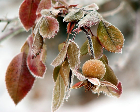Nature Photography Frosted Rose Hip brown olive green gray fine art photo winter frost woodland rustic living room decor 7x5 10x8 14x11
