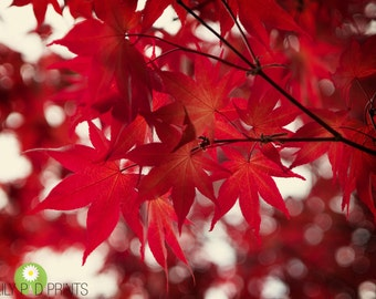 Red leaves photograph - Japanese maple  fine art print