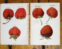 1905 pair of strawberry lithographs original antique berry fruit prints