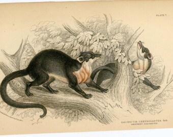 1836 galidictis chrysogastes original antique animal engraved print