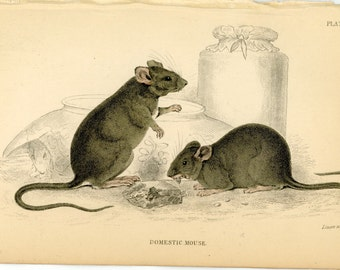 1845 DOMESTIC MOUSE original antique animal rodent engraved print - MICE