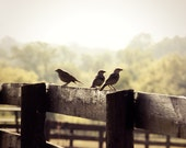 Country Landscape Photograph birds on fence pasture brown black green morning sunlight foggy golden 8x10