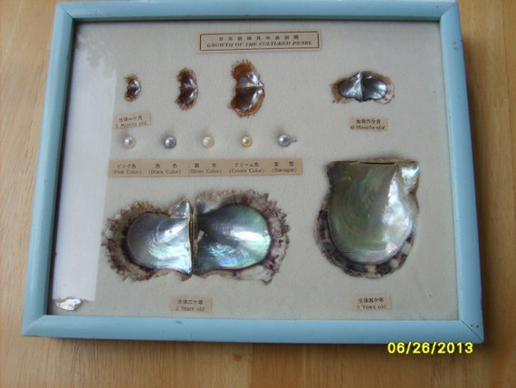 cultured pearl growth display 5 pearls oyster shells 1 month