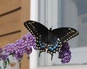 Black Swallowtail Butterfly a 5 x 7 Framed Print