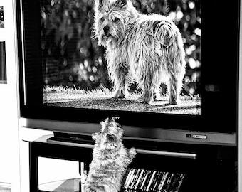Norwich Terrier Watches TV, black and white art photo, wall art, dog humor, fun art, small art, kid room art