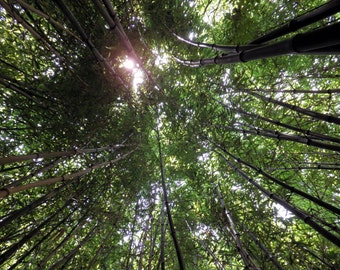 Surrounded by bamboo trees looking up print, nature and landscape, bamboo trees, bamboo photos, bamboo images