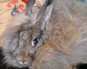 "Wild Agouti Angora Rabbit Spinning Fiber Handplucked from ""Sansa"" 1 oz."