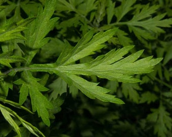 Mugwort seeds (Artemisia vulgaris) - Non-GMO, Untreated