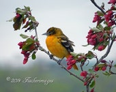 Baltimore Oriole in Flowering Crab Apple Tree Wall Art Home Decor Fine Art Photography