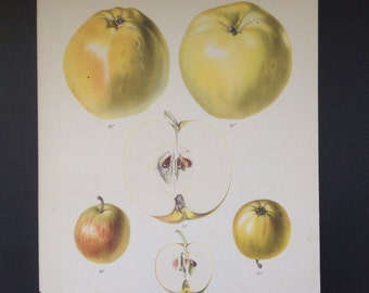 Botanical Print Antique Fruit Print of  Apples by Wolters circa mid 1800's