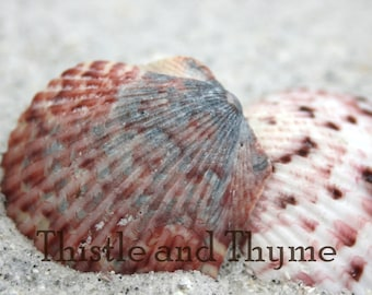 Calico Scallop shell photographic art print - 5x7 photograph color or black and white
