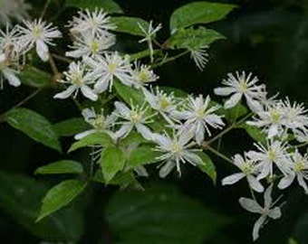 Clematis Virginia Seed-Virgins Bower Seed-Native Wildflower Seed