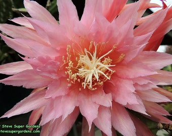 Epiphyllum 'Pink Plumes' (Orchid Cactus)- Gorgeous color.