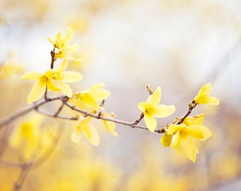 "Forsythia Photography, yellow nursery wall art flower floral spring nature print pale botanical branches photo, 8x10 Photograph, ""Delight"""
