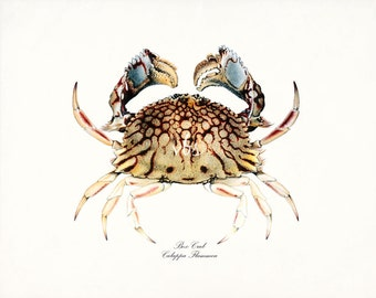 Coastal Decor Box Crab Natural History Nautical Giclee Art Print - 2 sizes
