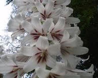 7 Yunan Lily Seeds-1061A