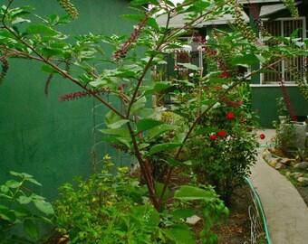 25 Pote Salet Seeds-1106