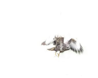 Bird of prey buzzard photography - bird flying photograph print - rustic photo home decor, log cabin wall art - gift for hunter mountain man