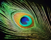 "Multipack 34-40"" peacock feathers big eyes plumes natural green eyes and stalks"