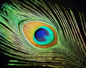 """Multipack 20""""-33"""" peacock feathers big eyes plumes natural green eyes and stalks"""