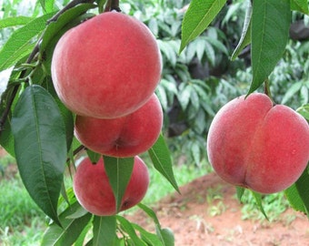 Heirloom Orangic 8 Seeds Peaches Pink Flower Sweet Peach Fruit Tree Seeds T027